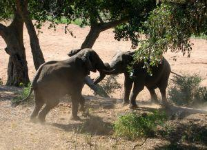 Picture of two elephants fighting