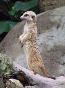 Picture of a meerkat on duty, symbolizing whether LLC officers have fiduciary duties